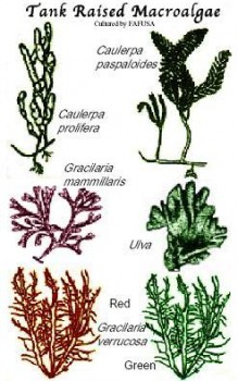 Cultured Marine Macro Algae